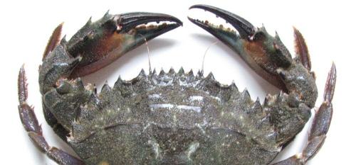 Charybdis Crab